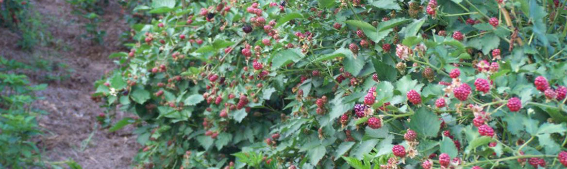 Slider – Lots of berries